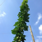 Little Miami Farms - Amy Forsthoefel -- 2014-08-24.jpg