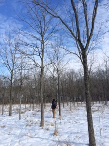 Black Walnut Pruning